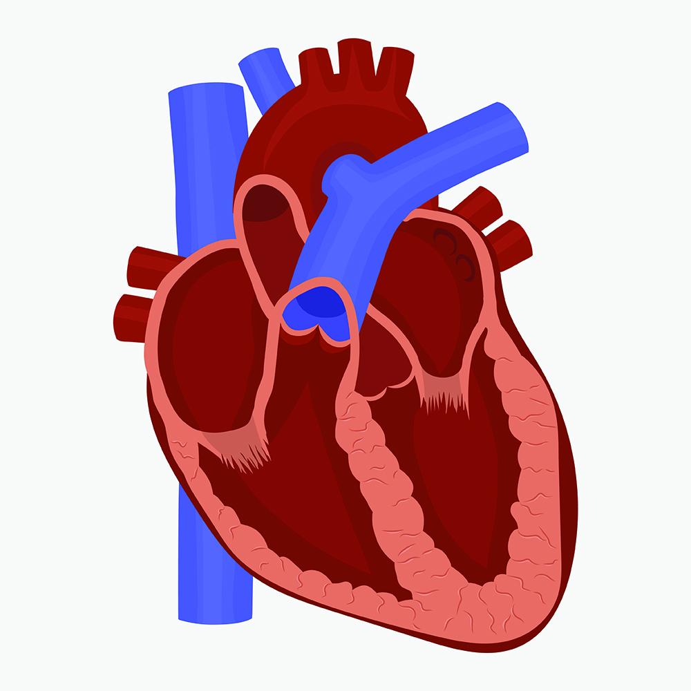 Les valvulopathies | Cardiologie Interventionnelle Lyon Nord Ouest